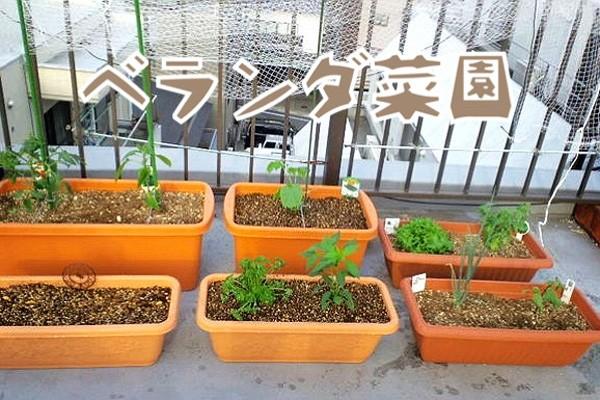 秋に種まきできる野菜で『ベランダ菜園』する!