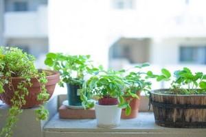 手軽に家庭菜園気分が味わえる♪ファミマの『育てるヤクミ』に大注目!